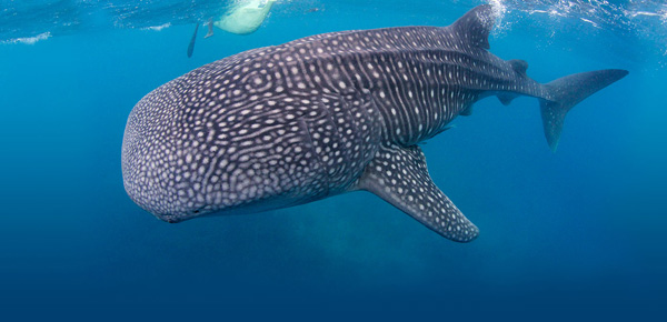 atmosphere whale shark 600